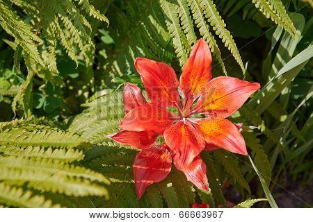 Orange Lilium