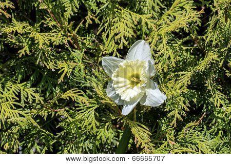 One Daffodils