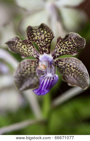Vanda Mimi Palmer Orchid Close Up