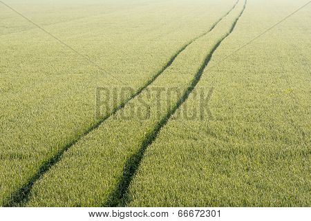 Tire Tracks Through The Cornfield