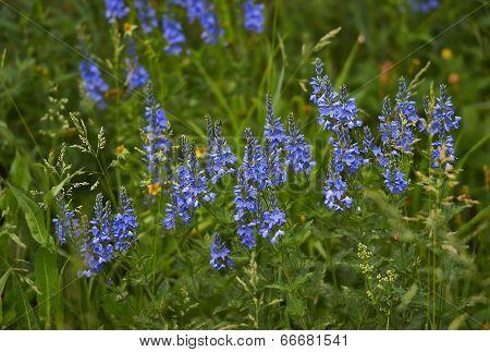 Veronica Longifolia . (verona Longifoliya).