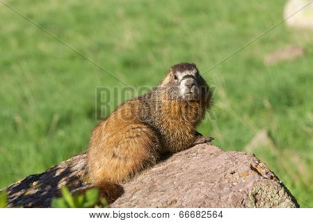 Yellow-bellied Marmot on Rock