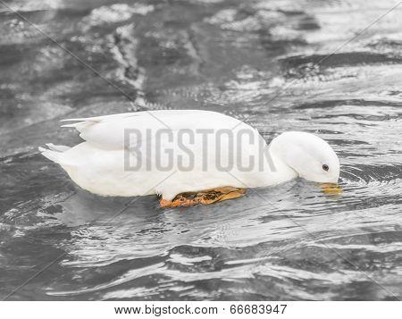 Female Peking duck drinking water on the Seine River