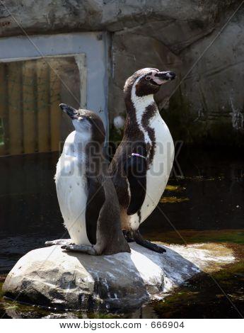Pair Of Penguins