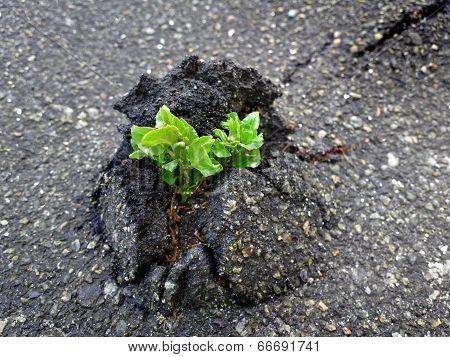Nature Wins. Tree vs asphalt