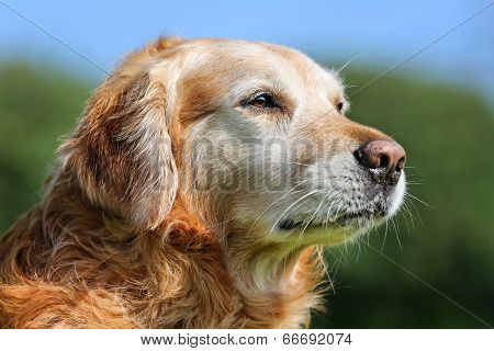 Golden Retriever Dog