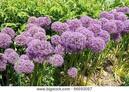Giant Alliums