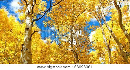 Autumn Canopy Of Brilliant Yellow Aspen Tree Leafs In Fall In The Sierra Nevada Mountains Of Califor
