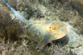 foto of skat  - Bluespotted stingray at the bottom of Red sea - JPG