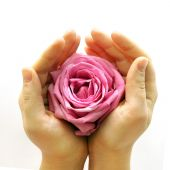 stock photo of pink roses  - delicate pink rose lovingly held in two hands on white background - JPG