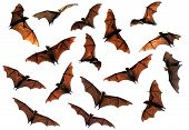 stock photo of bat wings  - Spooky Halloween flying fox fruit bats in flight composite image - JPG
