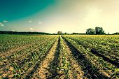 stock photo of farm-house  - Field Crops Leading To A Farm House - JPG