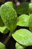 picture of borage  - Macro shot leaves of borage seedling wetted with water drops - JPG