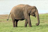 image of indian elephant  - Lankesian Elephant  - JPG