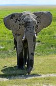 picture of kilimanjaro  - Kilimanjaro elephant in Amboseli National Park Kenia - JPG
