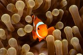 stock photo of biodiversity  - Western Pacific Clownfish in its home anemone - JPG