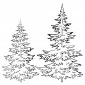 picture of conifers  - Fir trees - JPG