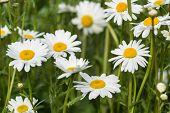 image of wildflowers  - Macro image of wild daisy flowers in wildflower meadow landscape - JPG
