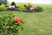 stock photo of manicured lawn  - Colorful red tropical hibiscus flower on a lush green bush with buds overlooking a newly landscaped garden with a manicured lawn and formal flowerbed - JPG