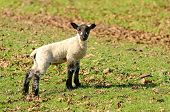 stock photo of spring lambs  - Young Spring lambs on a ranch in southern Oregon