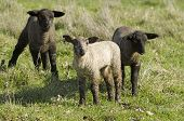 foto of spring lambs  - Young Spring lambs on a ranch in southern Oregon