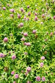 foto of red clover  - A field of red clover - trifolium pratense