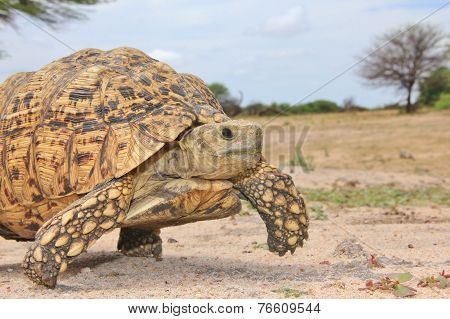 Leopard Skinned Tortoise - African Reptile Background - Walk of Freedom