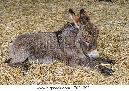 Two Months Old Youn Baby Donkey Foal Resting On Straw