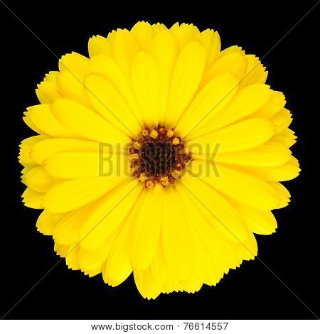 Yellow Pot Marigold Flower In Full Bloom Isolated