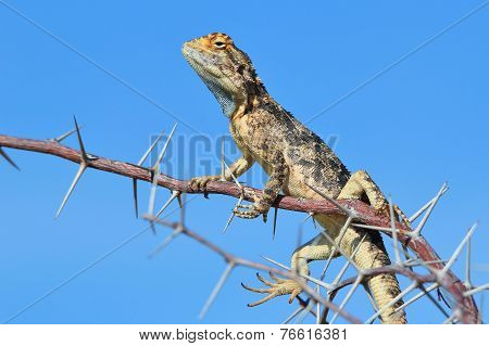 Spiny Agama - African Reptile Background - Blue Lizard Perched Pose