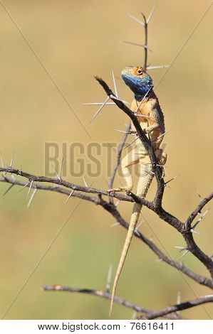 Spiny Agama - African Reptile Background - Sharp Beauty within Nature