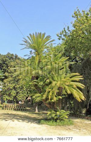 Cycas Circinnalis