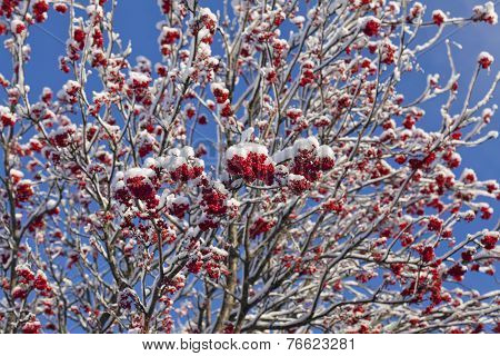 Red rowan berry, white snow and blue sky.