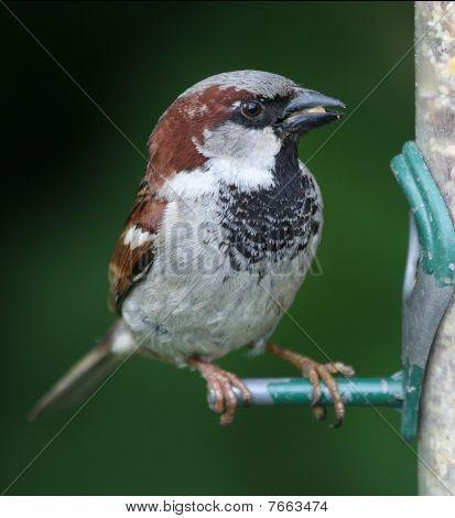 House Sparrow at feeder