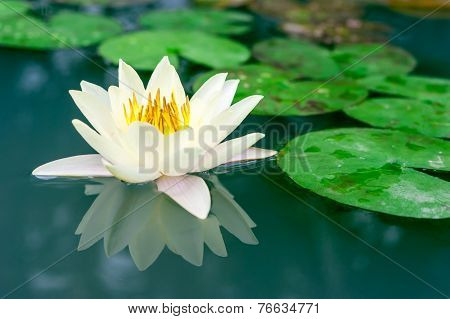 Beautiful Yellow Lotus Flower In Pond
