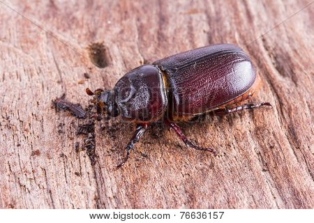 Close Up Coleoptera
