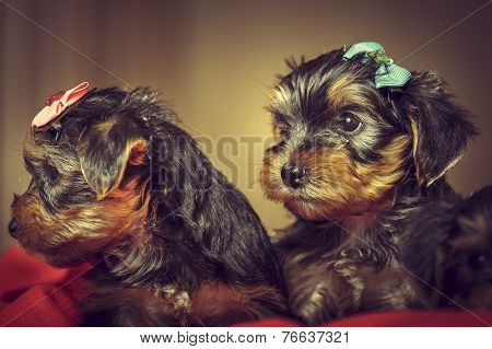 Two Yorkshire Terrier Dog Puppies
