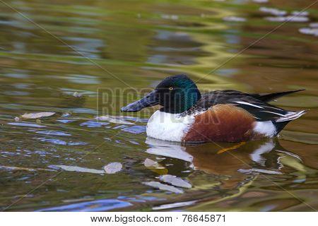 Shoveler Duck
