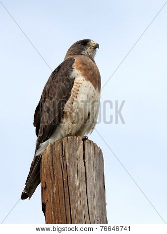 Swainson's Hawk on a Post