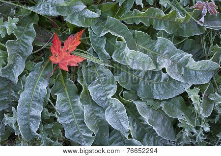 Maple Leaf On Frosted Ground Cover.