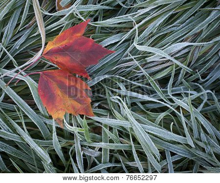 Maple leaves on grass.