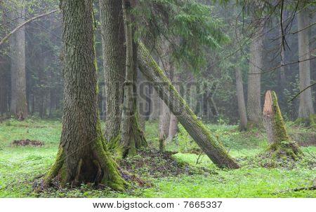 Old Alder Trees In Front Of Misty Forest