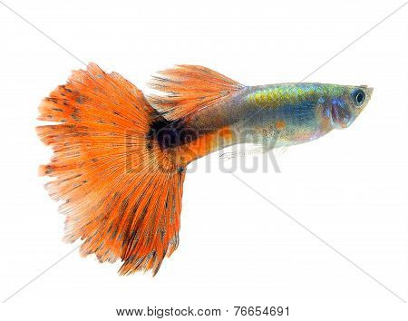 Beautiful Guppy Isolated On Whte  Background
