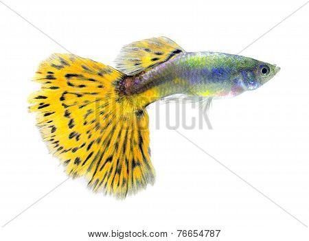 Guppy Fish Isolated On White Background