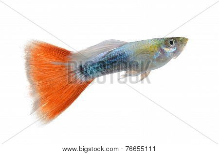 Beautiful Guppy Isolated On White Background
