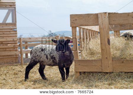 Suffolk Baby Sheep