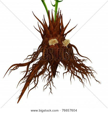 Corollid roots