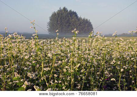 Summer Buckwheat Field And Morning Mist