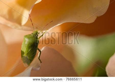 Green Shield Bug On Colorful Roses