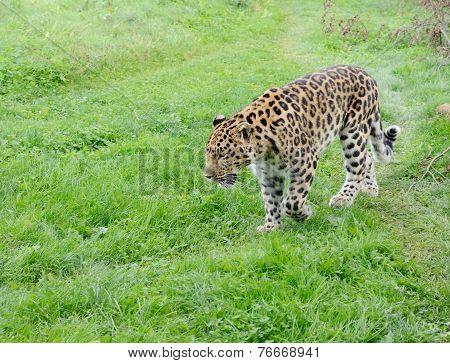 Leopard Alert